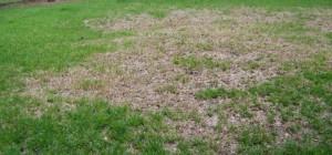 Chinch bug spraying Land O Lakes