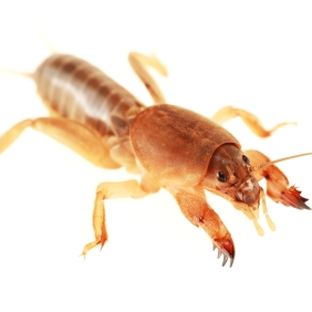 Mole cricket control